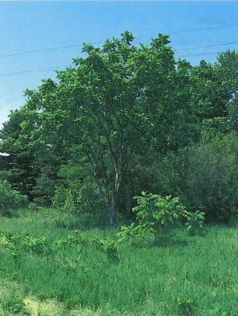 This is an image of an isolated Butternut tree along the northern edge of the site is the only species at risk verified by field studies to date. (City of Ottawa, 2015)