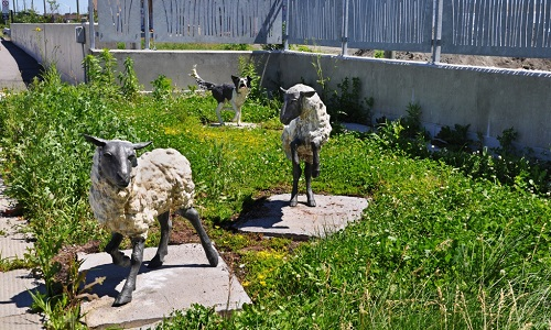 Bellwether -sheep and Border Collie on the vegetative roof.