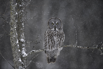 Great grey owl in a tree