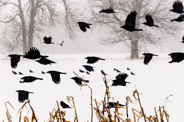 Crows flying in a snowstorm