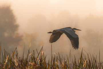 Great blue heron flying over cattails