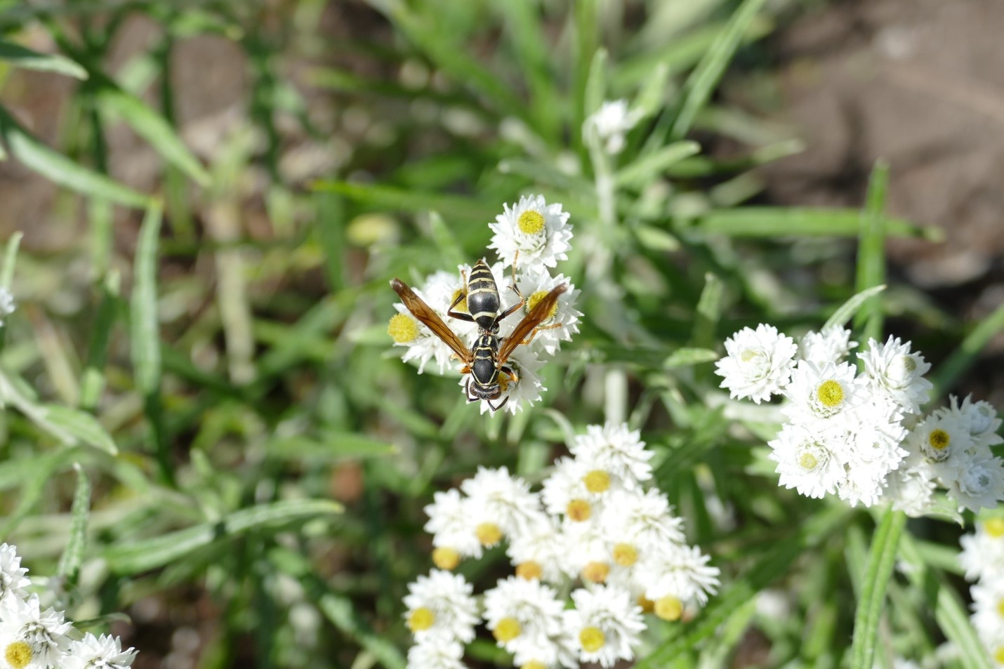 Dark paper wasp on pearly everlasting
