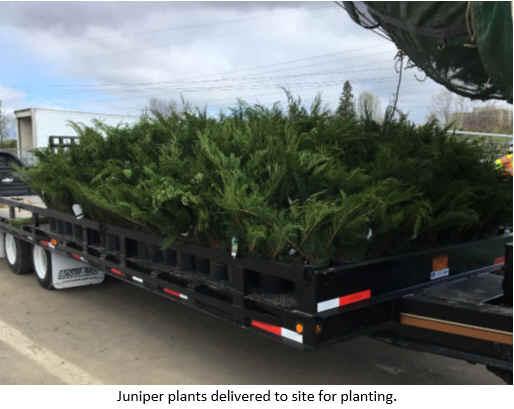 Juniper plants delivered to site for planting.