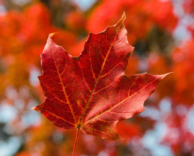 A falling red maple leaf, with fall colours out of focus in the background.