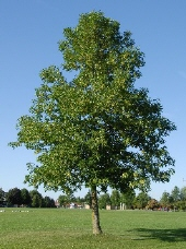 A large Ash tree stands 30m tall.