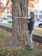 Measuring a tree with a metre stick