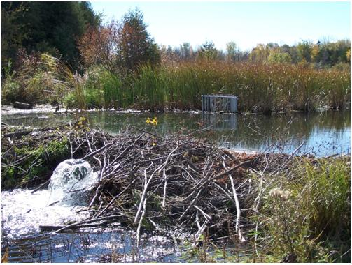 The photograph shows a beaver deceiver installation on a creek.  A beaver dam stands in the foreground, approximately one metre high.  Upstream of the dam, a small cattail marsh stands in the background.  The open water of the beaver pond lies between them, at an elevation almost equal to the top of the beaver dam.  Located in the beaver pond, immediately in front of the cattails, a small protective cage can be seen around the intake of the beaver deceiver.  The outlet of the beaver deceiver is visible on the downstream side of the beaver dam.  Although not visible in the photograph, the beaver deceiver pipe runs underwater from the intake, through the beaver dam, to the outlet.  Water flows quickly from the outlet of the beaver deceiver.