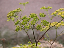 Wild parsnip's yellow flower