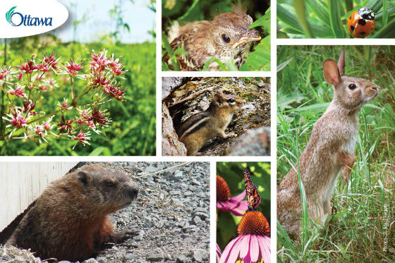 Ottawa's wildlife – animals found around residential.